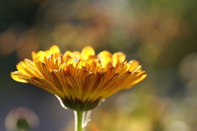 8 необычных бархатцев можно посадить в августе, чтобы они цвели до поздней осени