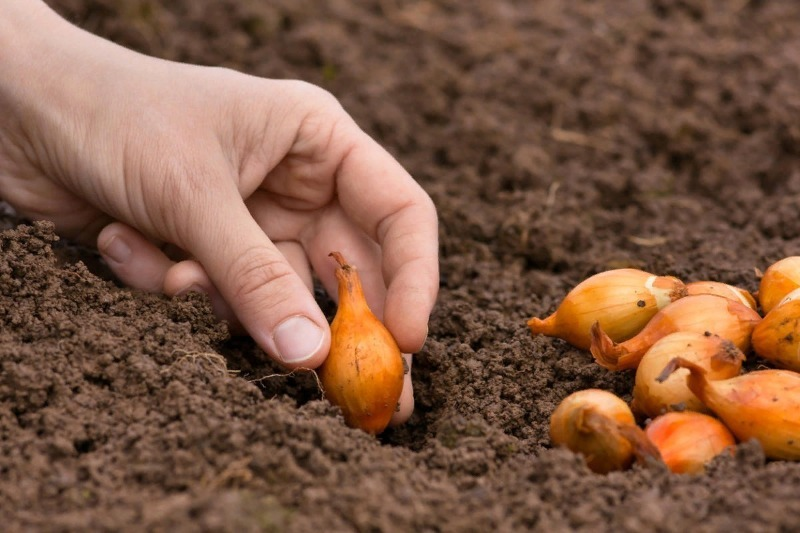 5 правил посадки лука-севка с наступлением холодов
