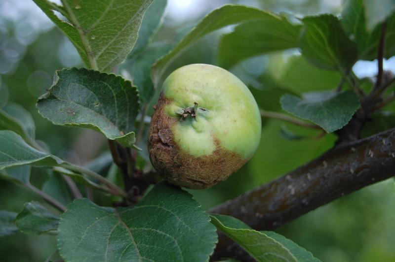 Яблоки потемнели, не успев созреть: 3 действия помогут узнать причину беды