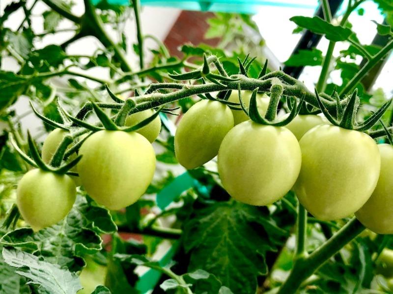 Холода приближаются, а томаты еще зеленые: 5 способов, как ускорить их созревание