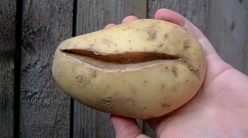 5 причин, почему картофель в земле покрывается глубокими трещинами