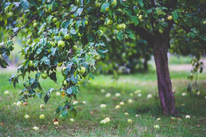 5 причин, почему опадают яблоки, хотя они еще не созрели