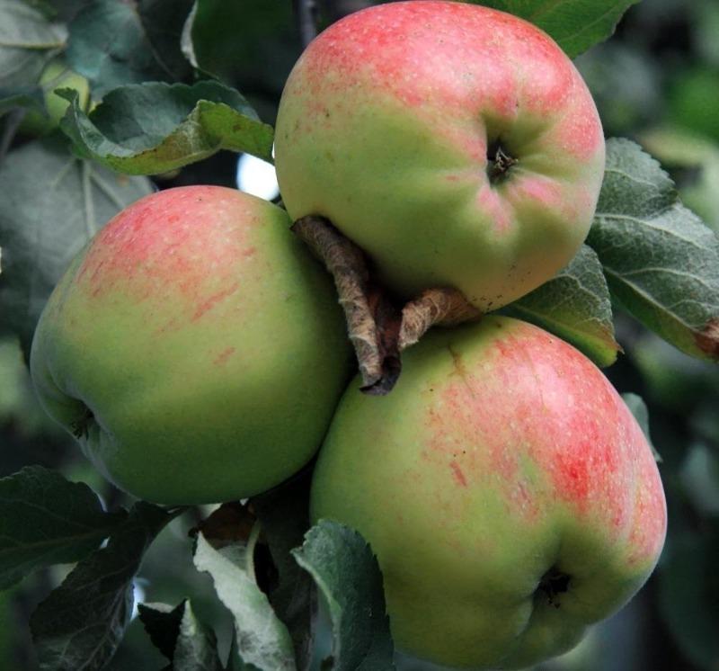 8 сортов яблок не стоит есть сразу после сбора – они будут вкуснее через пару месяцев