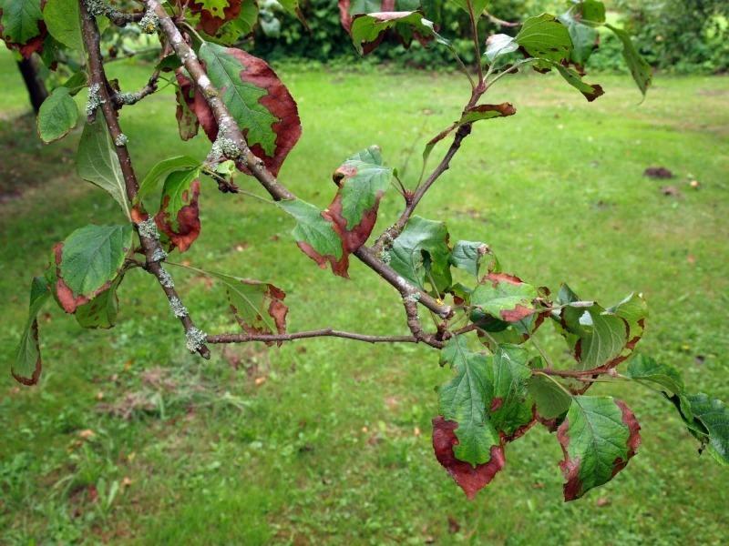 Листья груши и яблони расскажут, что не так с деревом