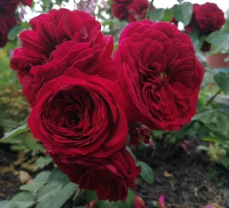 10 сортов роз, которые можно сажать в тени