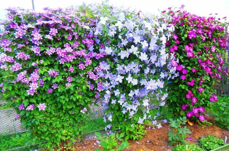 12 быстрорастущих растений превратят невзрачный забор в королевскую ограду