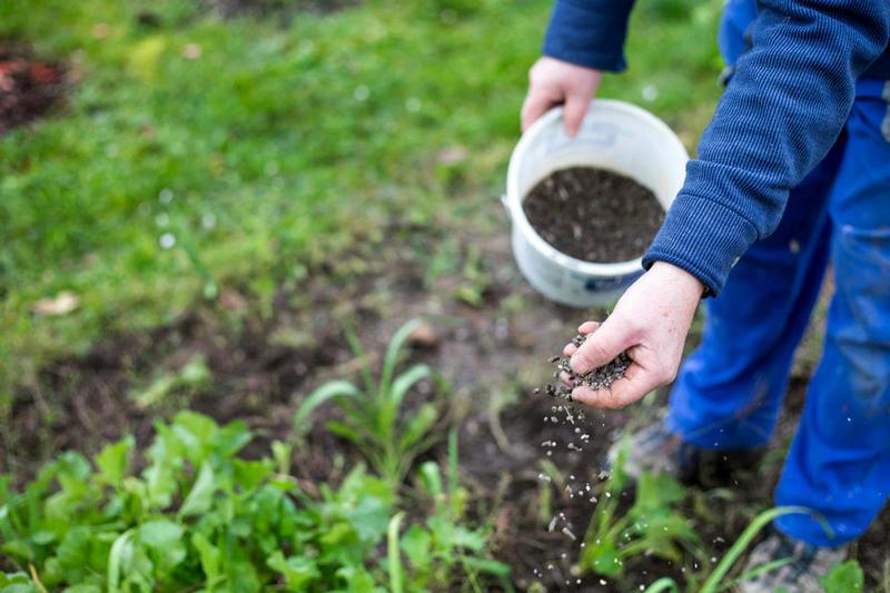 5 мест, куда можно посадить озимый чеснок – там ему будет хорошо