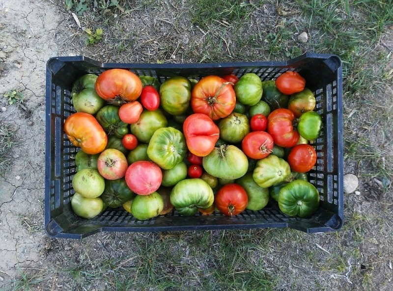Если сорвали томаты слишком рано: 3 простых способа дозреть помидоры
