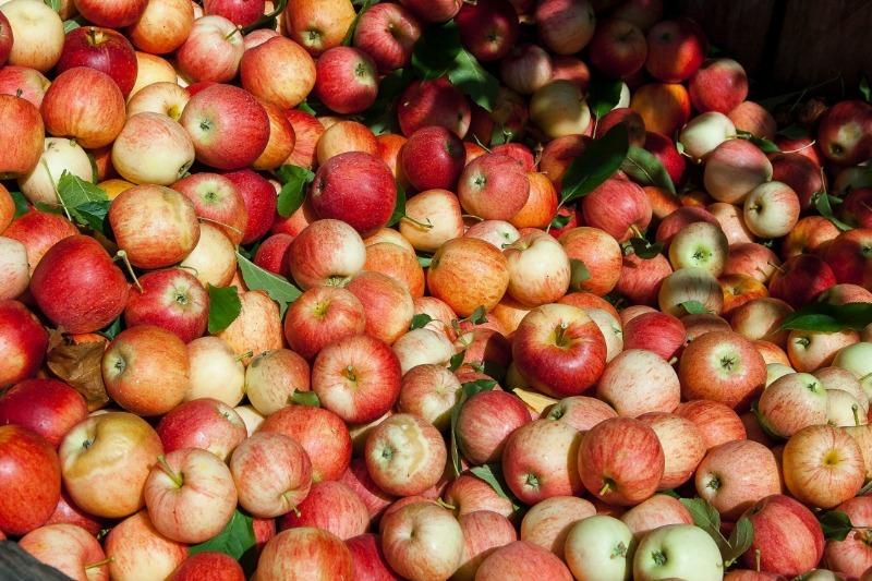 Если совершить 5 ошибок при подготовке яблок к хранению, то они быстро испортятся