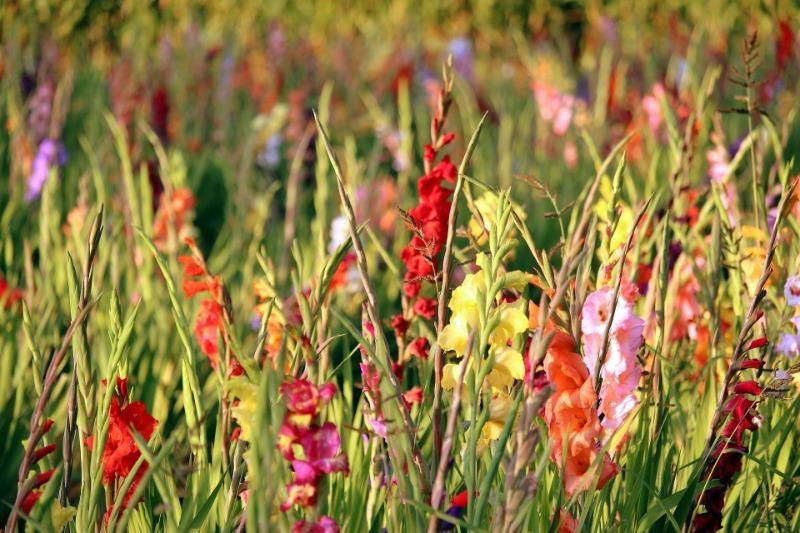 Что важно сделать с гладиолусами после цветения