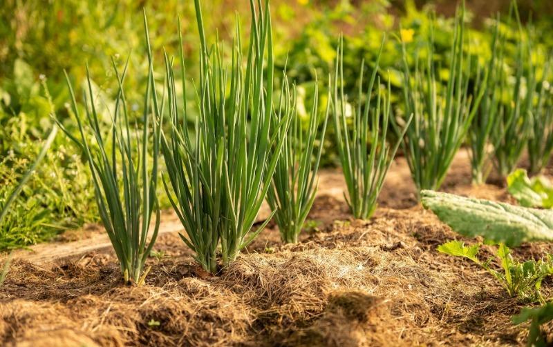 4 ошибки дачников, из-за которых мульча не помогает, а вредит растениям в огороде и саду