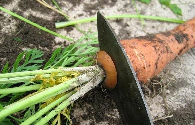 Как сделать так, чтобы морковка при хранении не начинала прорастать