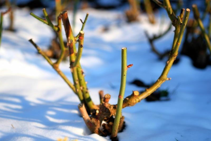 5 ошибок при осенней обрезке роз, которые загубят весь куст