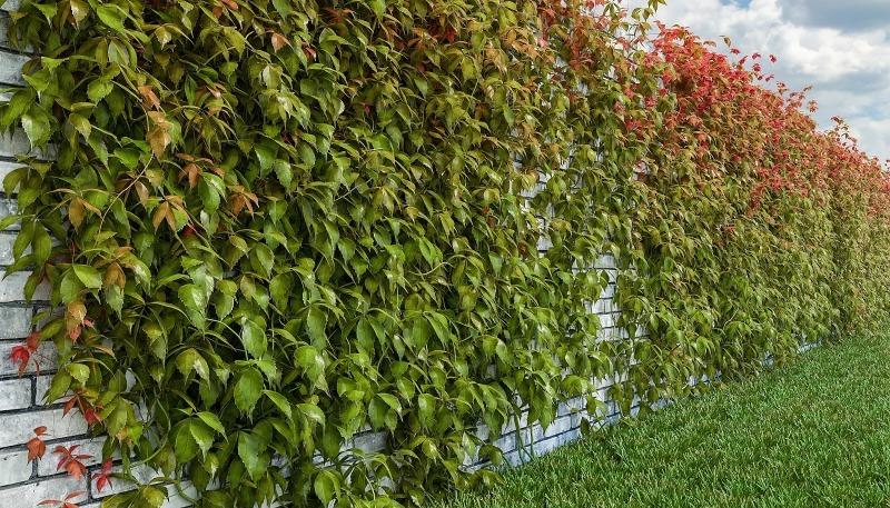 Почему девичий виноград – не лучший вариант для оформления забора или стены дома