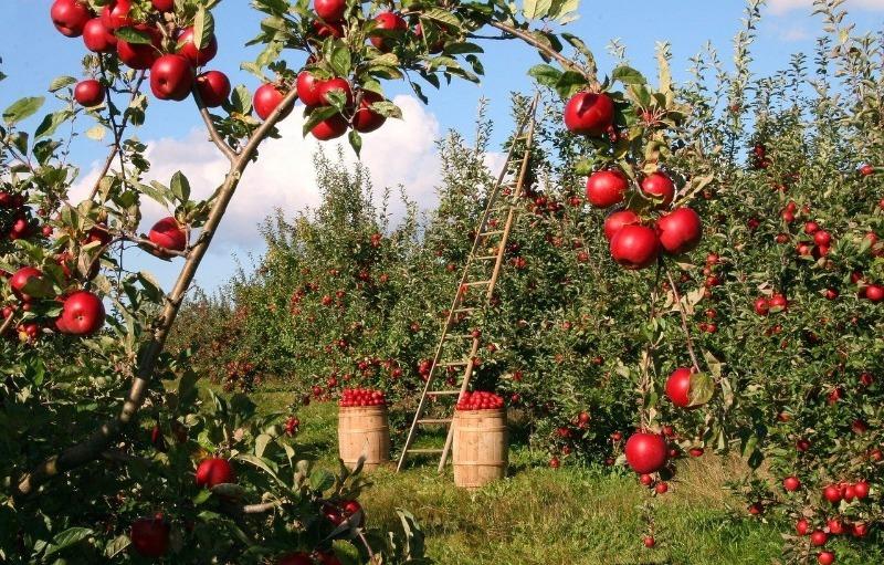 Спорные ситуации с плодовыми деревьями, чьи ветки перемахнули на соседний участок
