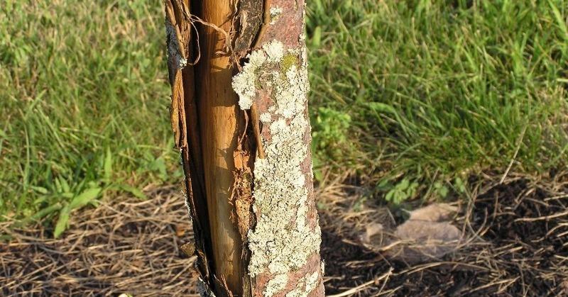 3 ошибки дачников, из-за которых на плодовых деревьях лопается кора
