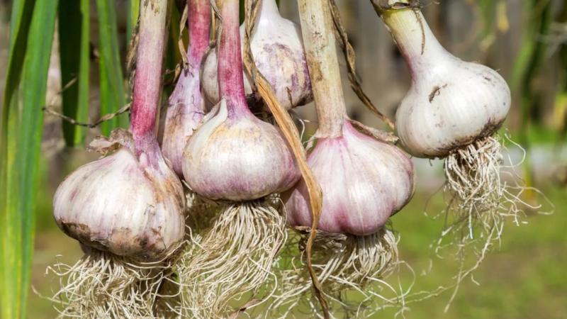 3 совета, как подготовить чеснок, чтобы после сбора урожая он хранился как можно дольше