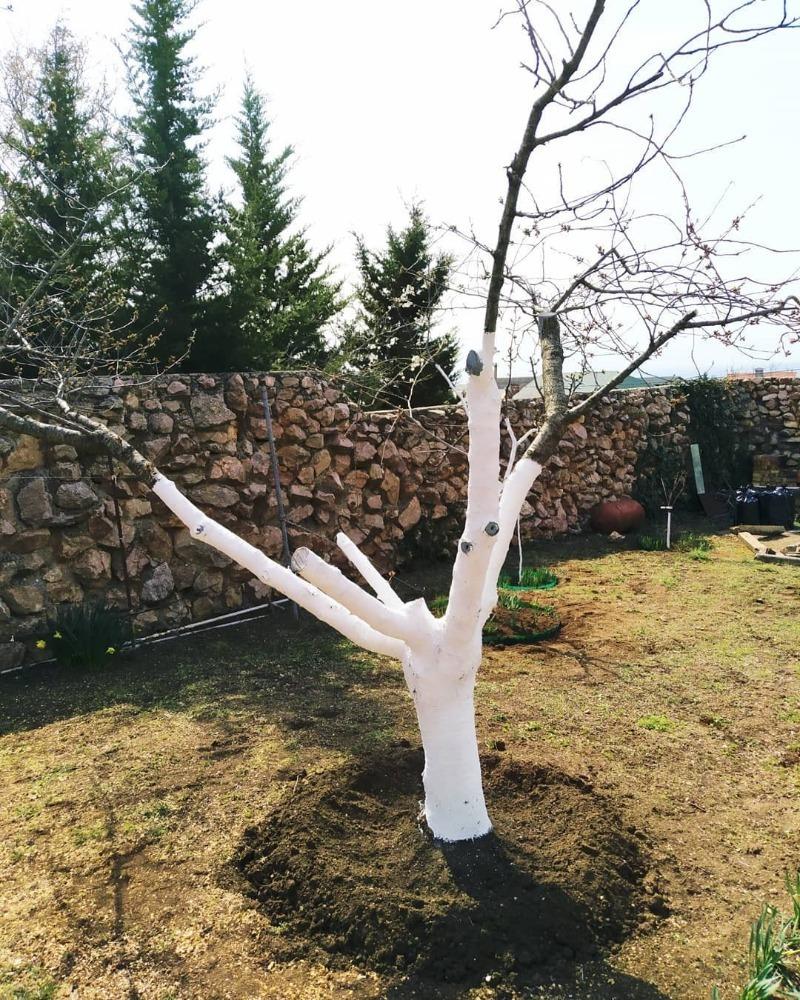 3 правила осенней побелки деревьев в саду