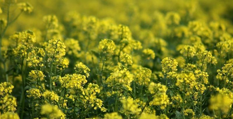 6 сидератов, которые сажаем в октябре-ноябре: семена прорастут весной и подготовят почву к посеву