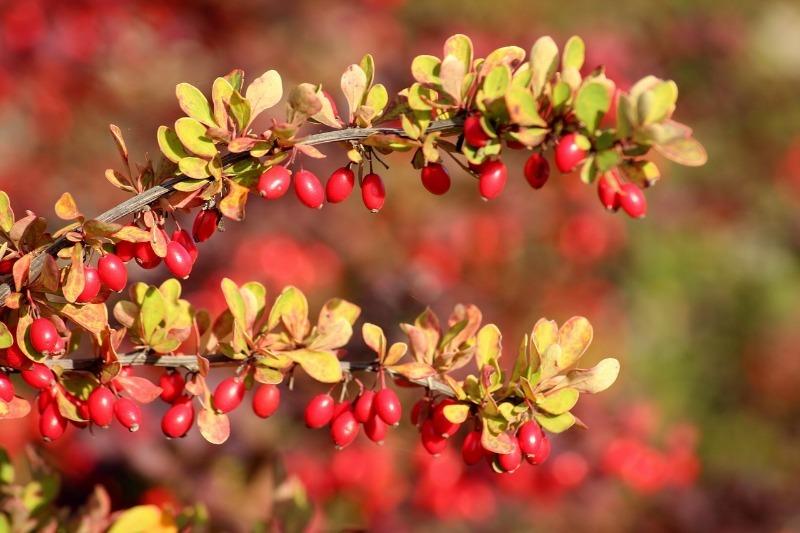 6 плодово-ягодных и декоративных кустарников, которые можно посадить под зиму