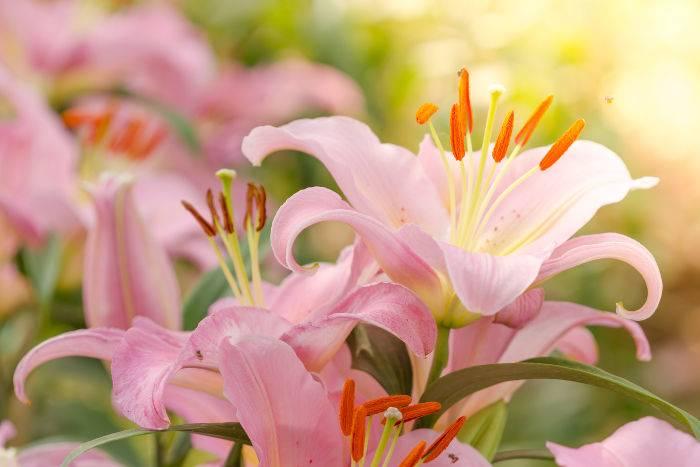 Пересадка лилий осенью на другое место — сроки, правила, инструкции с фото и видео