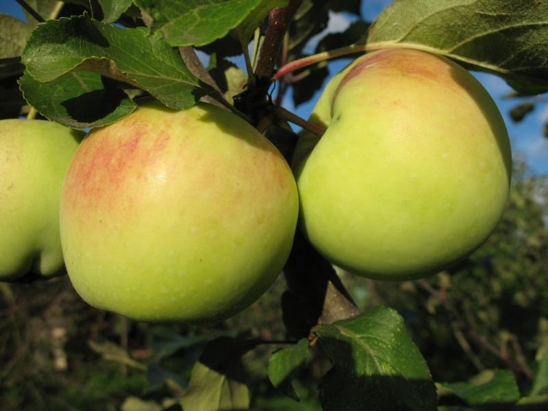 6 сортов яблок, которые легко хранить, и они всю зиму остаются вкусными