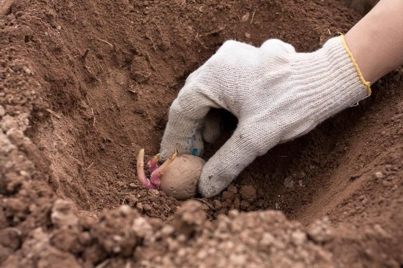5 причин, почему все больше дачников отказываются от посадки картошки