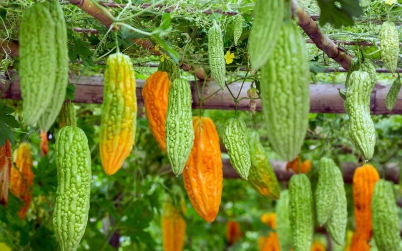 Момордика – экзотическая родственница тыквы, которую мы можем вырастить у себя