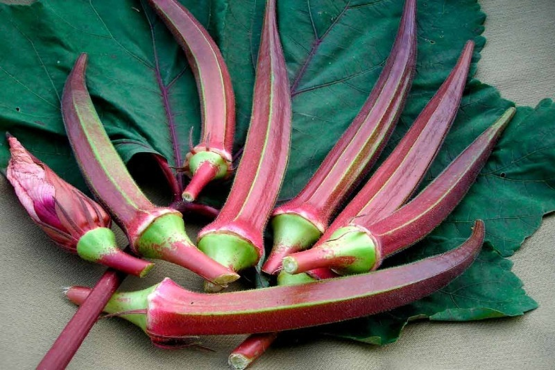 Звезда огорода: 4 сорта бамии, которые подходят для регионов с суровыми зимами