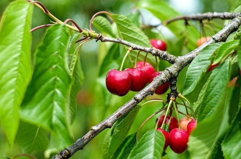 5 садовых деревьев, у которых черенки для весенней прививки заготавливаются в декабре