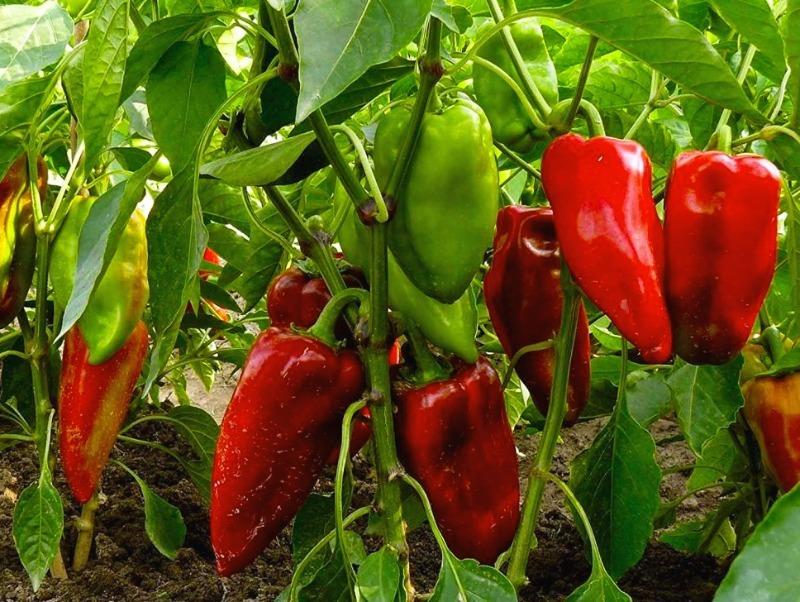 Сочные и крупные: семенами какого болгарского перца стоит запастись на следующий год