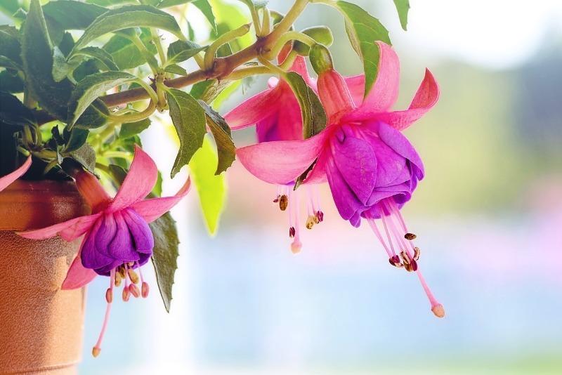 Растения, которые прекрасно себя чувствуют не только в саду, но и в квартире