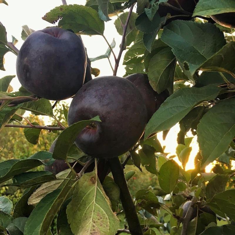 Элитные сорта яблок: чем они необычны и можно ли их вырастить у себя на даче