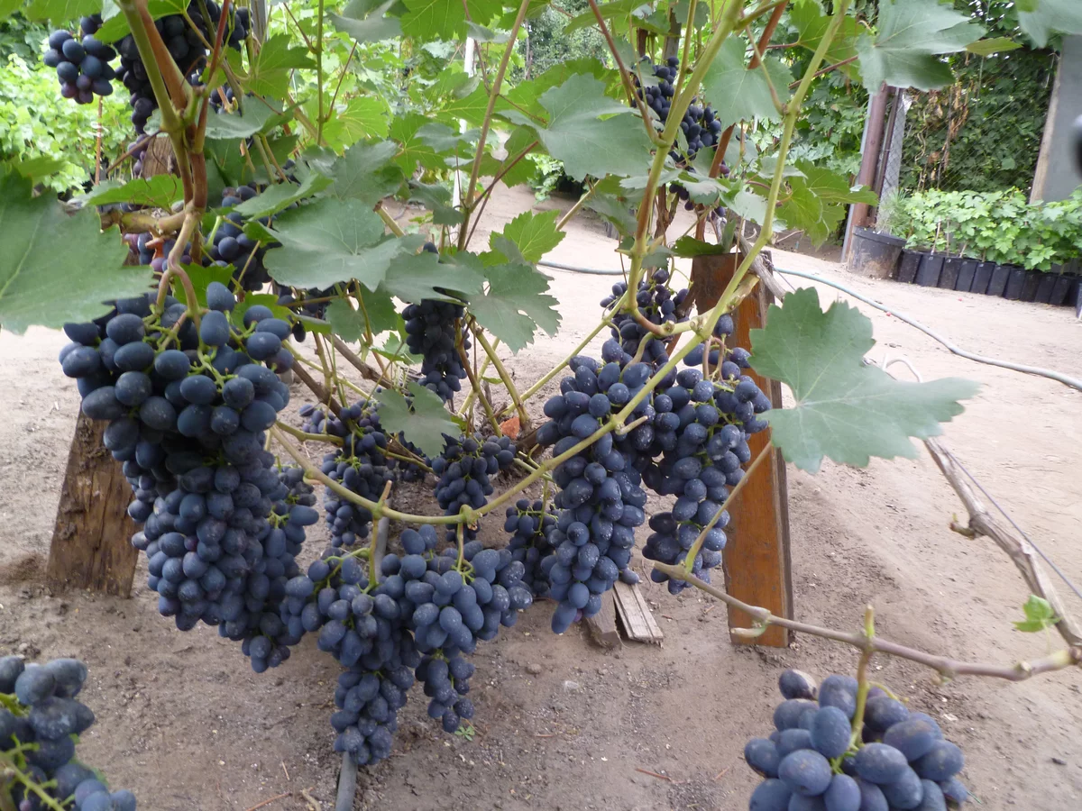 Посадка винограда осенью — сроки, правила, инструкции с фото и видео