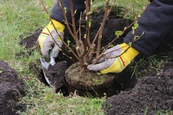 Посадка вишни осенью — когда и как посадить?