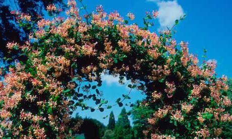Посадка жимолости осенью — когда и как посадить кустарник