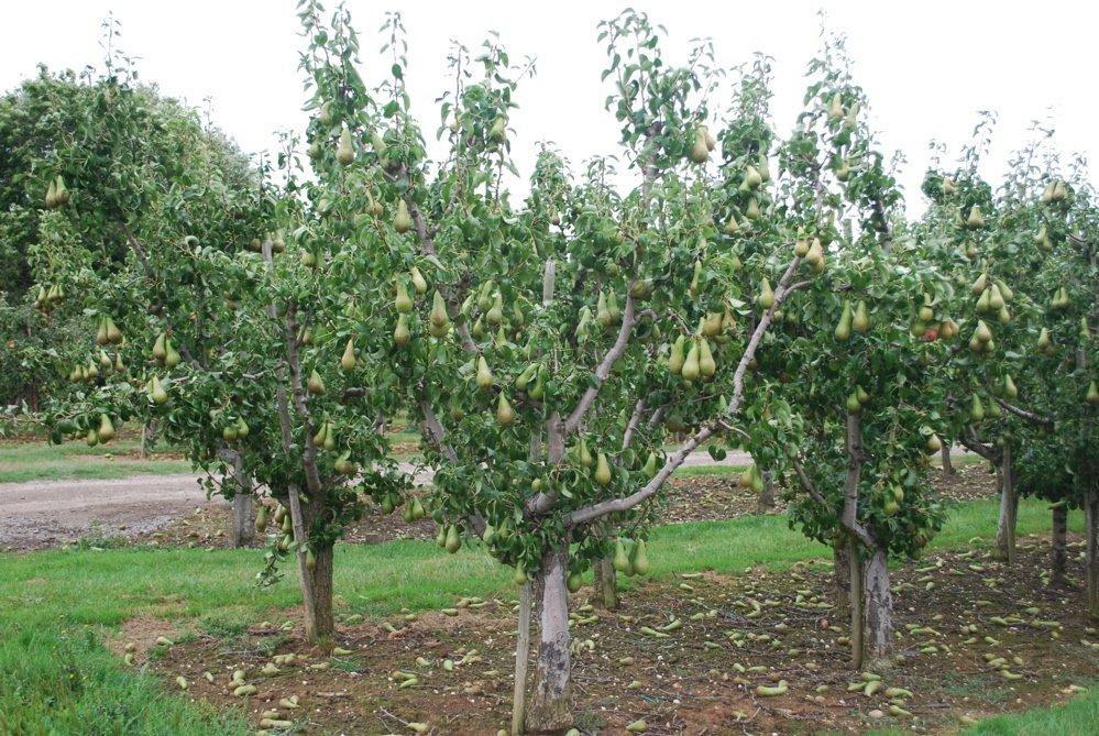Посадка груши осенью — когда и как посадить