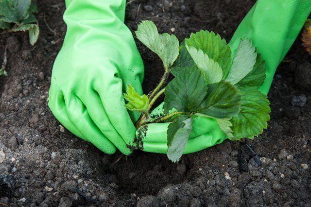 Посадка земляники осенью — когда и как посадить ягоду