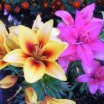 Посадка лилий осенью