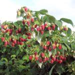 Посадка малины осенью — сроки, способы и правила, инструкции с фото и видео