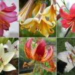 Когда обрезать лилии после цветения на зиму: особенности обрезки осенью