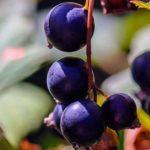Посадка смородины осенью — когда и как посадить