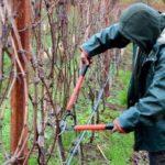 Обрезка винограда осенью: картинки и схемы для начинающих, как обрезать, чтобы был хороший урожай