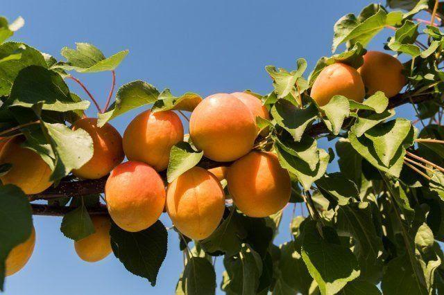 Обрезка абрикоса осенью, чтобы был хороший урожай: картинки, фото и схемы для начинающих, видео
