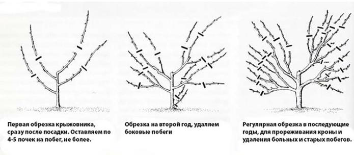 Разница в обрезке кустов крыжовника разного возраста
