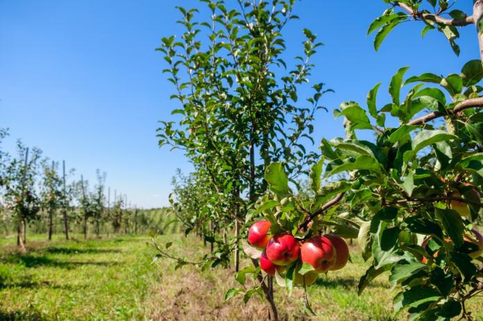 Особенности обрезки плодоносящих деревьев
