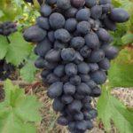 Чем подкормить виноград осенью для вызревания лозы и перед укрытием