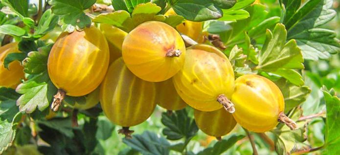 Чем подкормить крыжовник осенью, чтобы был хороший урожай в следующем году