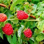Чем подкормить малину осенью для получения хорошего урожая в следующем году
