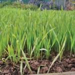 Рожь как сидерат: когда сеять для улучшения почвы, отзывы, для каких растений подойдет, фото